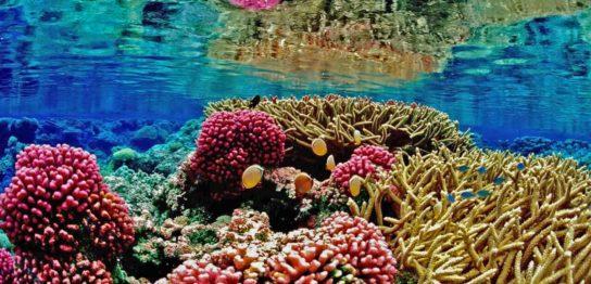 藻は世界のサンゴを救う?