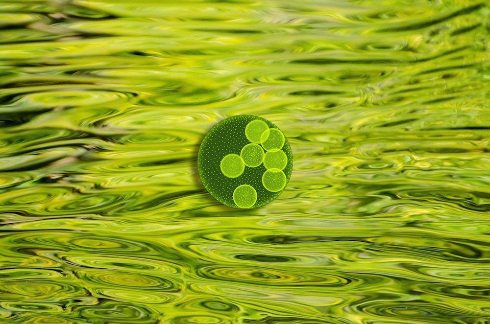 バイオ燃料で注目が集まる、「藻...