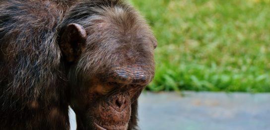 藻を「釣る」チンパンジー