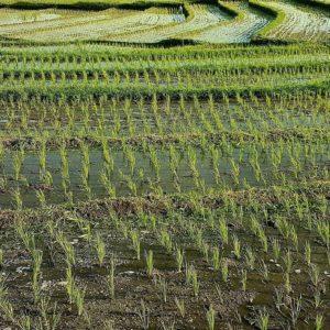 休耕田は藻類燃料生産の救世主になるのか?-農地の潜在能力と課題-